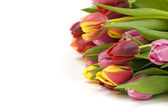 Fresh tulips — Foto de Stock