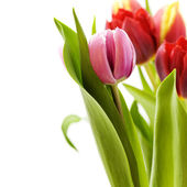 Bouquet of the fresh tulips — Stockfoto