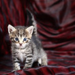 Small Kitten on a black-red background. — Stock Photo