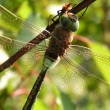 Dragonfly on a tree branch - Stock Photo