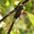 libelle auf einem ast — Stockfoto