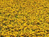 Yellow cultivar — Stock Photo