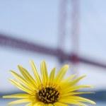 Yellow daisy and Lisbon bridge April 25 — Stock Photo