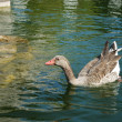 Ducks Swimming in a Artificial Lake - Stock Photo
