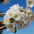 Cherry Flowers - Foto de Stock