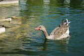 Ducks Swimming in a Artificial Lake — Stock Photo
