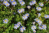 Bunch of Purple Daisys — Stock Photo