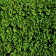 Green turf background — Stock Photo