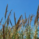 Reed grama em um lago — Foto Stock