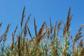 Reed grass on a lake — Stock Photo