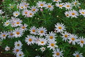 Daisys on a botanic garden — Stock Photo