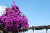 Purple Bouganvilla flowers — Stock Photo