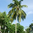Coconut palm tree — Stock Photo