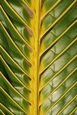 Vibrant coconut palm tree detail/backgro — Stock Photo