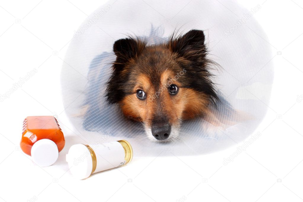 Sick Sheltie or Shetland sheepdog with dog cone collar and medicine bottles in the foreground (NOT ISOLATED) — Zdjęcie stockowe #1243963