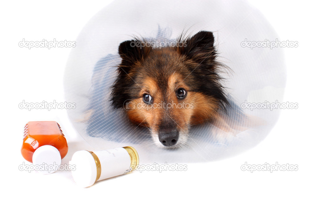 Sick Sheltie or Shetland sheepdog with dog cone collar and medicine bottles in the foreground (NOT ISOLATED) — Lizenzfreies Foto #1243963