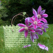Clematis basket — Stock Photo