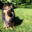 Stock Photo: Brown Sheltie