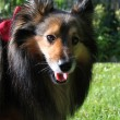 Stock Photo: Brown Sheltie portrait