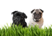 Black and fawn pug behind grass — Stock Photo