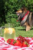 Lemonade and dog picnic — Stock Photo