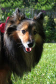 Brown Sheltie portrait — Stock Photo