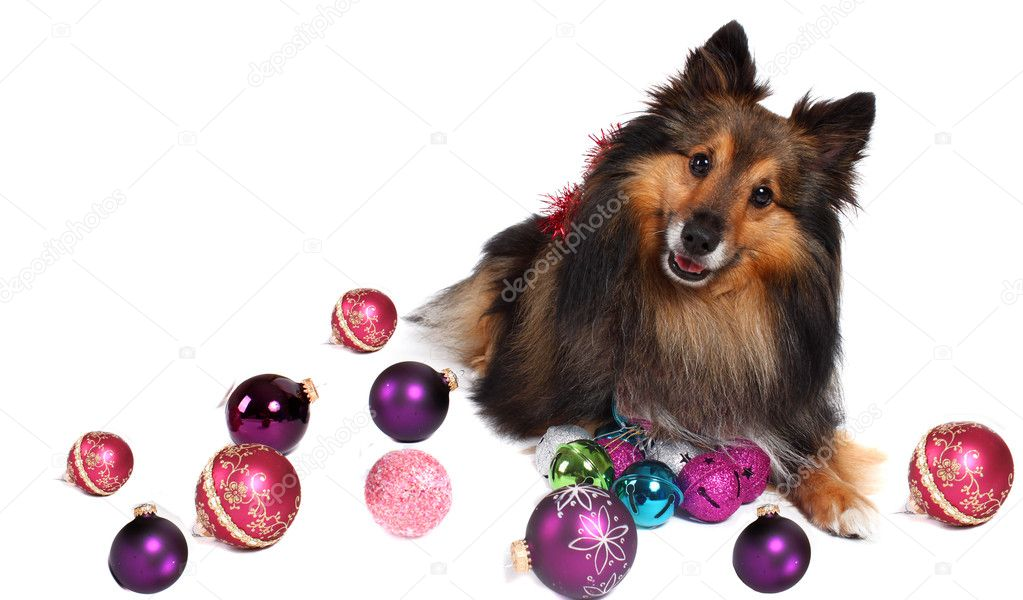 Brown and black Sheltie dog surrounded by christmas ball decorations  — Stock Photo #1980874