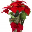 Christmas flower Poinsettia — Stock Photo #1247433