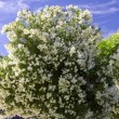 Foto Stock: Blooming tree