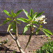 Plumeria XXL - Stock Photo