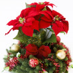 Christmas flower Poinsettia — Stock Photo