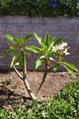 Plumeria XXL — Stock Photo