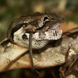 Stock Photo: Snake - boconstrictor, lunch with mice