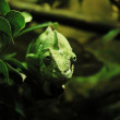 Green chameleon — Stock Photo #1231734
