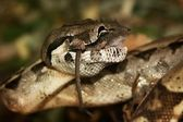 Snake - boa constrictor, lunch with mice — Stock Photo