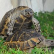 Turtle — Stock Photo #1772907