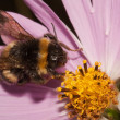 Stock Photo: Bumblebee on Compositae flower