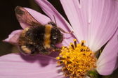 Bumblebee on a Compositae flower — Stock Photo