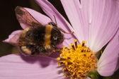 Bumblebee on a Compositae flower — Stock Photo