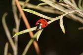 Lady bug on a leaf — Stock Photo