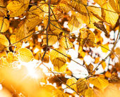 The background of the yellow leaves. — Stock Photo