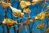 Yellow leaves against the sky — Stock Photo