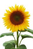 Beautiful sunflower (isolated) — Stock Photo