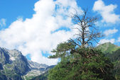 Dry pine in the mountains — Stock Photo