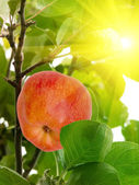 Apple tree fruit — Stock Photo