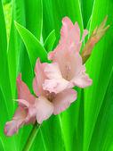 Flower gladiolus leaves — Stock Photo