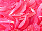Flower petals peony — Stock Photo