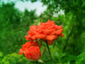 Flowers roses — Stock Photo
