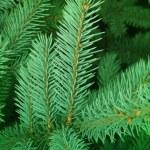 Branches tree fur-tree — Stock Photo