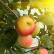Fruit apples  tree — Stock Photo
